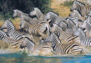 Photo of zebras from South Africa goes here.