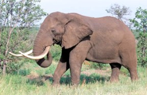 Photo of African elephant in South Africa goes here.