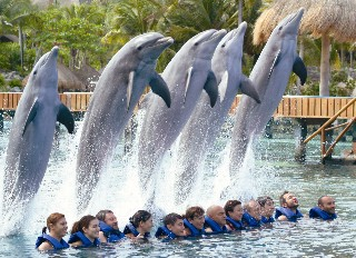 Photo of dolphins leaping over swimmers in the Dolphin Experience goes here.