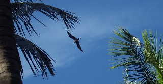 Photo of a frigatebird in flight goes here.