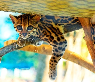 Photo of ocelot goes here.