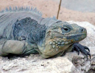 Photo of iguana goes here.